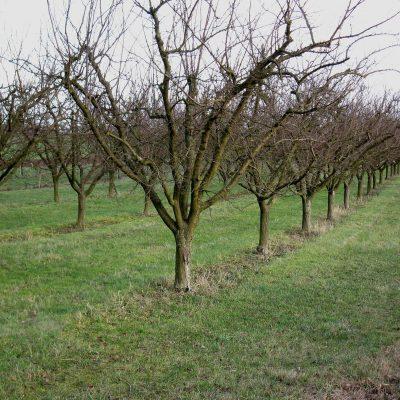 Le verger du producteur de fruits